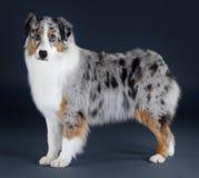 Perro pastor australiano imagenes de archivo