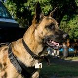 Perro pastor belga imagenes de archivo