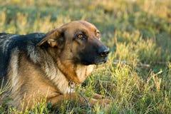 Perro pastor de Alemania fotografía de archivo
