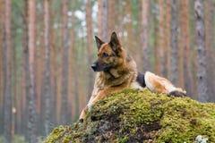 Perro pastor de Alemania fotografía de archivo libre de regalías