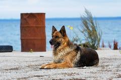 Perro pastor de Alemania Imágenes de archivo libres de regalías