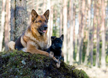 Perro pastor de Alemania con el perrito fotografía de archivo libre de regalías