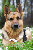 Perro pastor de Alemania que pone en jardín foto de archivo libre de regalías