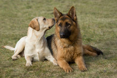 Perro pastor de Moscú y perro perdiguero de Labrador. imagenes de archivo