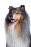 Perro pastor de Shetland Imagenes de archivo