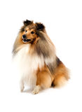Perro pastor de Shetland Foto de archivo