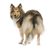Perro pastor de Shetland Fotos de archivo libres de regalías