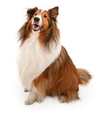 Perro pastor de Shetland aislado en blanco Imágenes de archivo libres de regalías