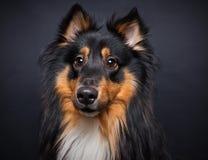 Perro pastor de Shetland alerta Fotografía de archivo libre de regalías