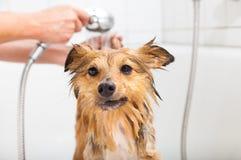 Perro pastor de Shetland debajo de la ducha Fotos de archivo libres de regalías
