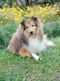 Perro pastor de Shetland en flores Foto de archivo