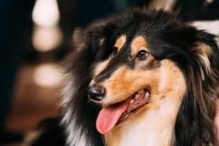 Perro pastor de Shetland joven, Sheltie, perro del collie Foto de archivo