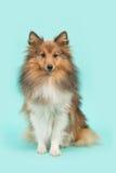 Perro pastor de Shetland o sheltie que se sienta bonito en un fondo azul de la turquesa Fotos de archivo libres de regalías