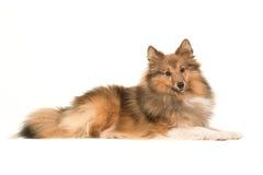 Perro pastor de Shetland que miente abajo visto del lado Foto de archivo libre de regalías