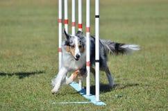 Perro pastor de Shetland (Sheltie) en el ensayo de la agilidad del perro fotografía de archivo