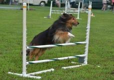 Perro pastor de Shetland (Sheltie) en un ensayo de la agilidad del perro Foto de archivo