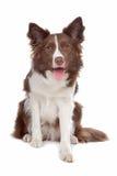 Perro pastor del collie de frontera Imágenes de archivo libres de regalías