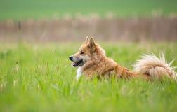 Perro pastor en el campo Fotos de archivo