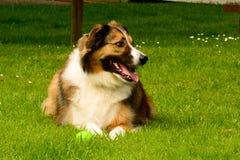 Perro pastor Galés con la bola en los pies Foto de archivo
