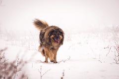 Perro pastor grande en la nieve Fotografía de archivo