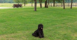 Perro pastor húngaro tradicional Imagenes de archivo