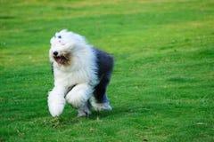 Perro pastor inglés viejo foto de archivo libre de regalías