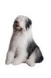 Perro pastor inglés viejo Fotos de archivo