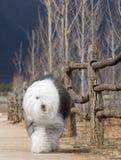 Perro pastor inglés viejo del perro Fotografía de archivo libre de regalías