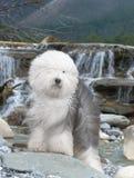 Perro pastor inglés viejo del perro Foto de archivo
