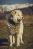 Perro pastor peludo blanco alerta Imagenes de archivo