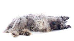 Perro pastor pirenáico foto de archivo