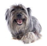 Perro pastor pirenáico foto de archivo libre de regalías