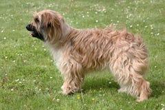 Perro pastor pirenáico típico en un césped de la hierba verde Imagenes de archivo