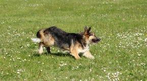 Perro pastor que corre en hierba verde con las flores salvajes foto de archivo libre de regalías