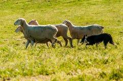 Perro pastor que reúne ovejas Imagen de archivo