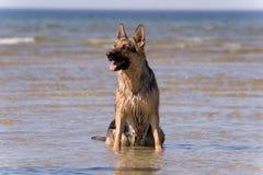 Perro pastor que se sienta en agua Fotos de archivo libres de regalías