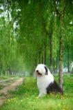 Perro pastor viejo inglés Fotografía de archivo libre de regalías