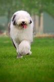 Perro pastor viejo inglés Foto de archivo libre de regalías
