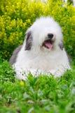 Perro pastor viejo inglés Fotografía de archivo