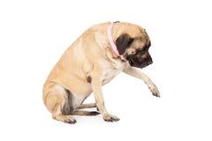 Perro Paw Out del mastín Fotografía de archivo libre de regalías