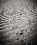 Perro Pawprints en arena en la playa de Provincetown Foto de archivo