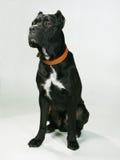 Perro pedigrí Imagen de archivo