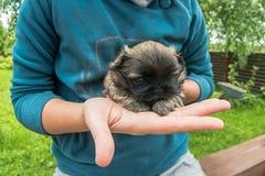 Perro pekingese del perrito recién nacido que descansa en manos de la mujer imagen de archivo