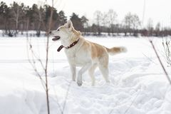 Perro pelirrojo hermoso juguetón divertido de Akita Inu del japonés con la pata aumentada en un campo nevoso en un fondo del bosq Imagen de archivo libre de regalías