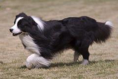 Perro peludo blanco y negro Fotos de archivo