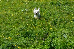Perro peludo dulce suave blando lindo que corre en un prado en las montañas Imagenes de archivo