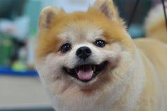 Perro peludo lindo pomeranian Fotos de archivo