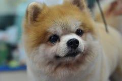 Perro peludo lindo pomeranian Foto de archivo libre de regalías