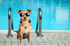 Perro pequeña Fawn Swimming Pool Sunglasses foto de archivo libre de regalías