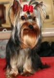 Perro pequeño fotografía de archivo libre de regalías
